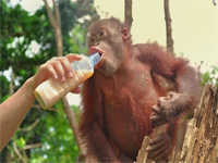 An Orang Utan Encounter